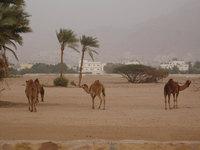 Camels in Aqaba