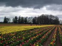 Tulip Farm 7