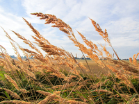 tall summer grains