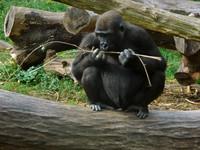 Eating Gorilla