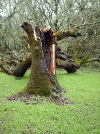Fallen Oak 4