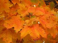 Gatineau Park Maple Leaves 1