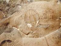 Trilobite Ontario Canada 1795