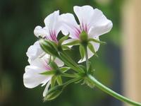 Beautiful white Geranium
