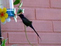 humming-bird 4
