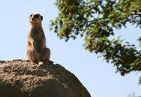 London Zoo - Meerkat's