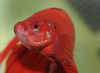 Betta fish series 3