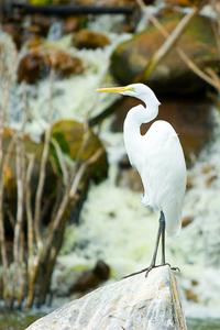 White Heron 2
