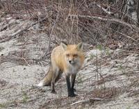 Fox 1