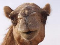 Portrait of a Camel 1