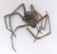 Dead Spider