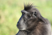Sulawesi crested black macaque 3