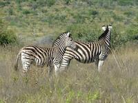 Zebras in the Veld