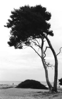 Maritime Pine - Pinus Pinaster