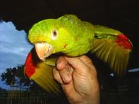 Parrot from Brazil