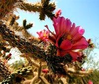 Cholla Flower