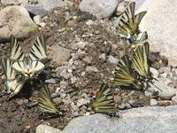 Bunch of butterflies 2