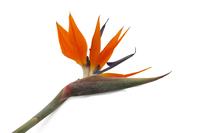 Magnificent Strelitzia reginae