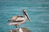 pelican series 1