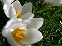 White crocuses close-up