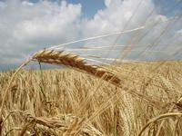Grain field nr2