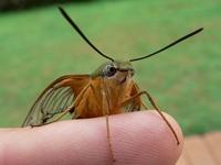 gardenia hawk moth