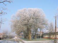 Winter Big Tree