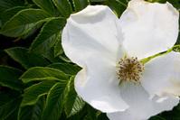Maine wild rose