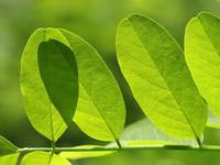 Acacia's leaf