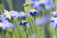 violet flower macro