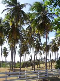 Coconut Trees 4