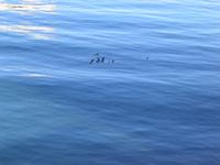 Duck Ocean