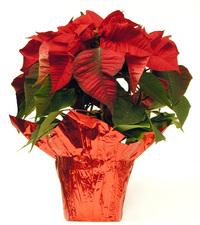 Poinsettia Plants 2
