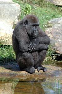 Gorillas at Apenhaul