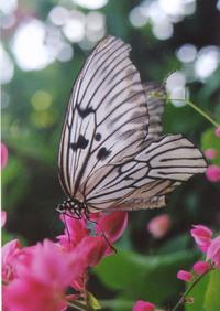 butterfly0 1