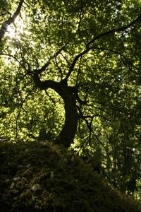 Old tree 1