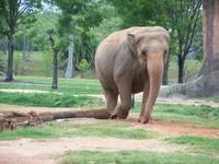 Indian Elephants 3