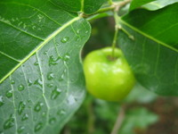 Tropical green fruit