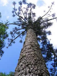 Araucaria Tree 1