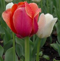 Ottawa Tulip Festival 12