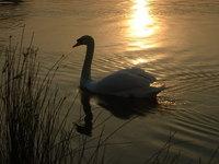 Swan 7