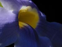 Bignonia azul