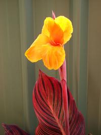 Cana Lily 4