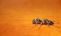 Shiny Ant 3