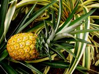 Tropical Pineapple 1