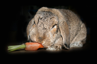 Paule - Rabbit