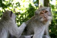 Alas Kedaton Monkey 03