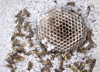 Wasp holocaust