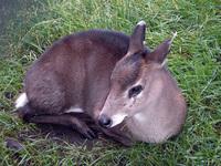 Western Tufted Deer