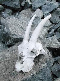 Goat's skull